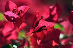 Flores del Bougainvillea Foto de archivo