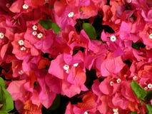 Flores del Bougainvillea Imagen de archivo libre de regalías