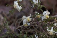 Flores del brachiata de Joy Clematis del viajero Fotografía de archivo