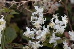 Flores del brachiata de Joy Clematis del viajero Imagenes de archivo