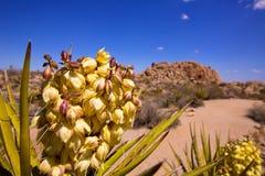 Flores del brevifolia de la yuca en Joshua Tree National Park Imágenes de archivo libres de regalías