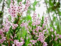 Flores del brezo en el bosque Foto de archivo