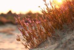 Flores del brezo en la colina de la arena en la puesta del sol Foto de archivo libre de regalías