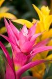 Flores del Bromelia Imagenes de archivo