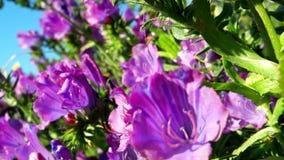 Flores del bugloss púrpura del ` s de la víbora almacen de video