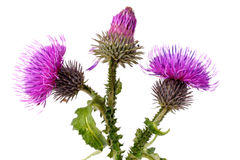 Flores del Burdock fotos de archivo