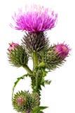 Flores del Burdock foto de archivo