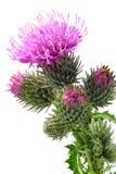 Flores del Burdock imagen de archivo