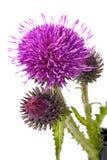 Flores del Burdock fotografía de archivo