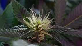 Flores del cáñamo Foto de archivo libre de regalías
