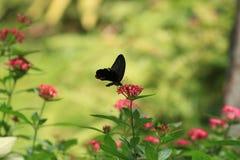 Flores del cúmulo de estrellas y mariposa de Swallowtail Imagen de archivo libre de regalías