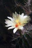 Flores del cacto en parque fotografía de archivo libre de regalías
