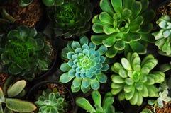 Flores del cactus fotos de archivo libres de regalías