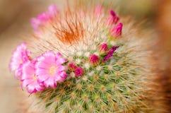 Flores del cactus Fotos de archivo