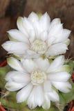 Flores del cactus Imagen de archivo libre de regalías