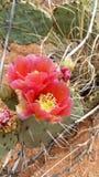 Flores del cactus Foto de archivo libre de regalías