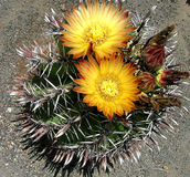 Flores del cactus Fotografía de archivo libre de regalías