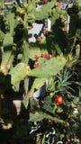 Flores del cactus Imágenes de archivo libres de regalías