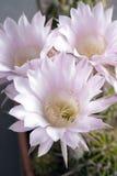Flores del cactus Imagenes de archivo