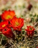 Flores del cactus de barril Foto de archivo libre de regalías