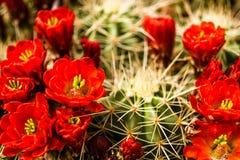 Flores del cactus de barril Fotografía de archivo libre de regalías