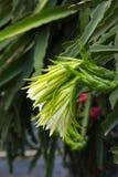 Flores del cactus de la fruta del dragón Fotos de archivo