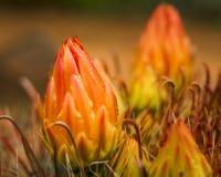 Flores del cactus después de la lluvia Foto de archivo libre de regalías
