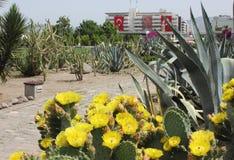 Flores del cactus en el cuadrado de Konak, Esmirna Foto de archivo libre de regalías