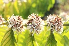 Flores del café Robusta Foto de archivo libre de regalías