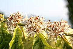 Flores del café Robusta Fotos de archivo libres de regalías