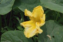 Flores del calabacín Imágenes de archivo libres de regalías