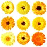 Flores del Calendula Fotografía de archivo
