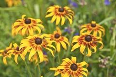 Flores del Calendula Imágenes de archivo libres de regalías