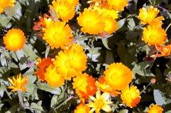 Flores del Calendula en el jardín Fotografía de archivo