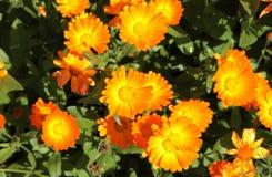 Flores del Calendula en el jardín Imagen de archivo