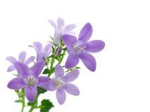 Flores del Campanula Imagen de archivo libre de regalías