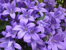 Flores del Campanula Imágenes de archivo libres de regalías