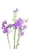 Flores del Campanula Imagenes de archivo