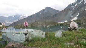 Flores del campo de la montaña en el fondo de montañas y del lago almacen de video
