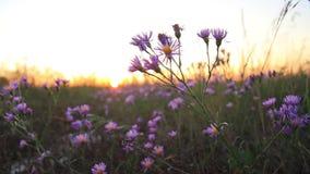 Flores del campo del otoño del color de la lila en la puesta del sol almacen de video
