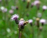 Flores del cardo. Fotografía de archivo