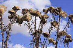 Flores del cardo Foto de archivo libre de regalías
