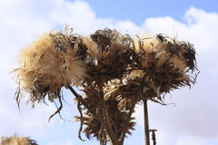 Flores del cardo Imagen de archivo
