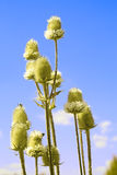 Flores del cardo contra el cielo azul Fotografía de archivo libre de regalías