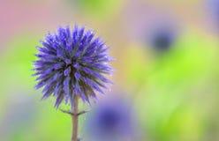 Flores del cardo de globo Imagen de archivo