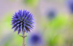 Flores del cardo de globo Fotos de archivo