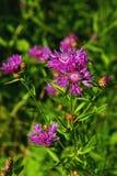 Flores del cardo en el prado Fotos de archivo libres de regalías