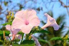 Flores del carnea de la mañana Glory Tree o del Ipomoea fotografía de archivo