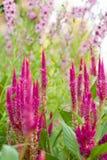 Flores del Celosia y de Angelonia Imágenes de archivo libres de regalías