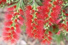 Flores del cepillo de botella Foto de archivo libre de regalías